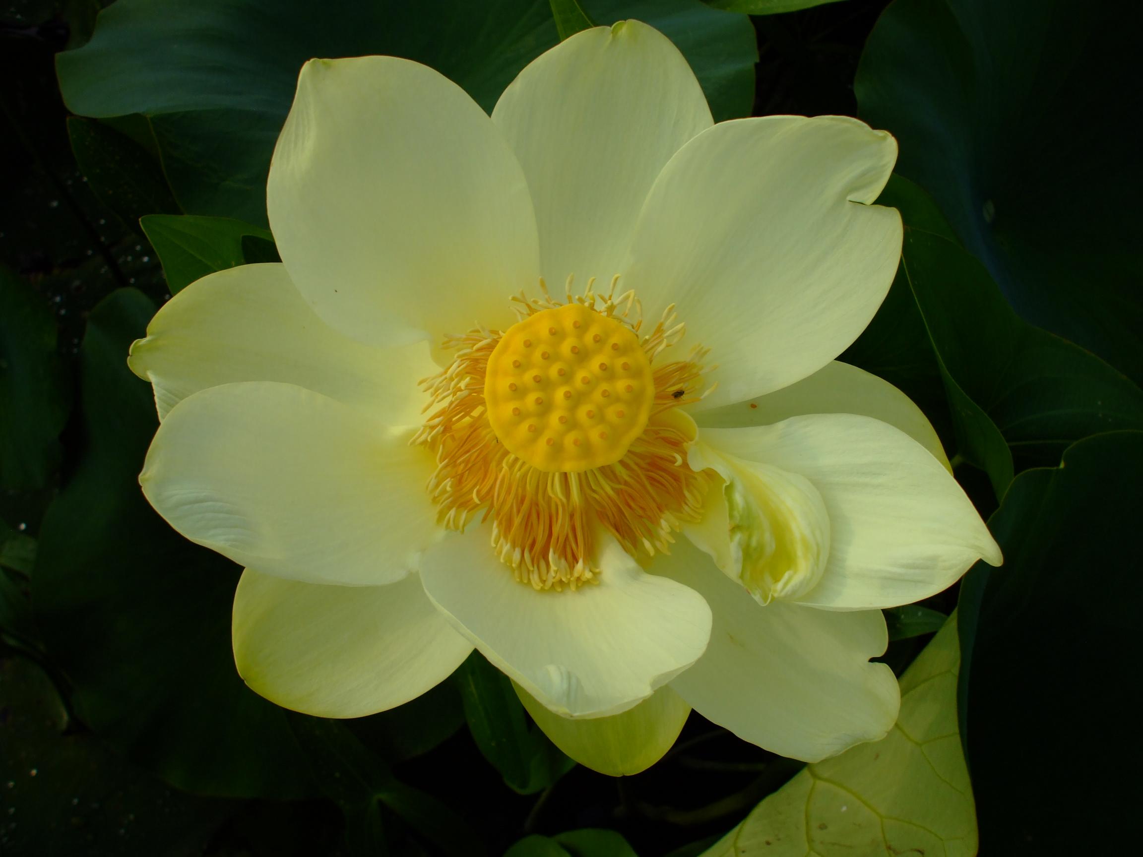 Nelumbo Lutea American Lotus